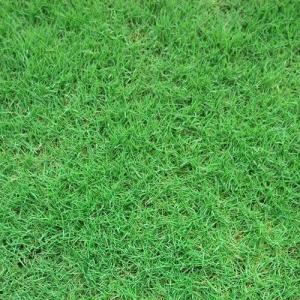 หญ้าเบอมิวด้า